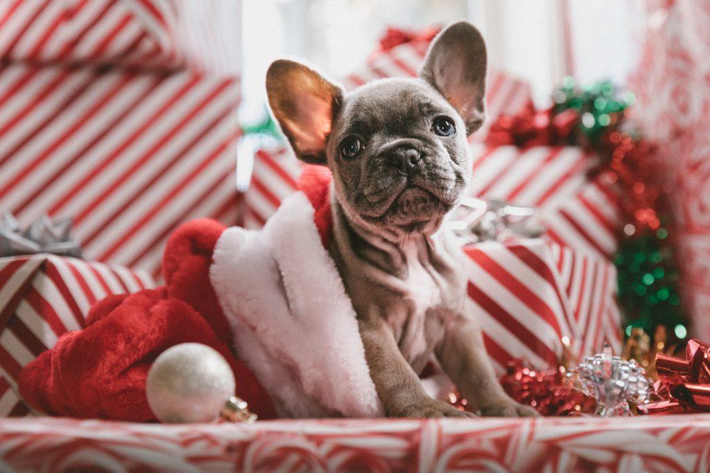 Cute bulldog given as a christmas gift