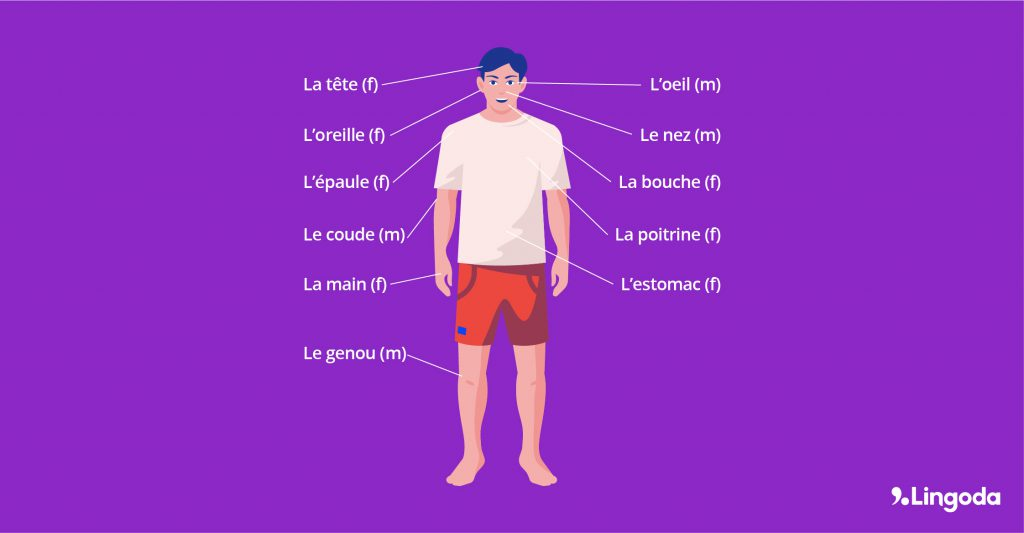diagram showing the names of the body parts in French